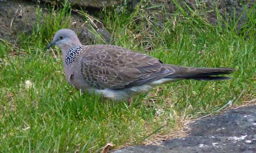 Malay spotted dove