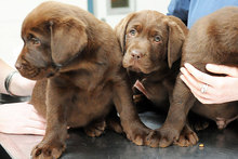 Three of the puppies owned by murdered farmer Scott Guy. Photo / File photo