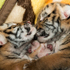 Amur tiger cubs born in June, who are the first Amur tigers ever born at the Columbus Zoo, are seen in intensive care as one regains strength following poor nursing. Photo / AP