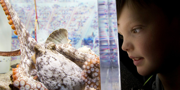 Christopher Wright, 7, watches an octopus feeding at the Weird and Wonderful holiday attraction at Kelly Tarlton's. Photo / Richard Robinson