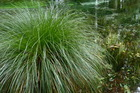 Carex virgata is great for planting on the edges of streams and swamps. Photo / Meg Liptrot