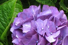 Hydrangeas come in shades from crystal whites, apple greens and deep blues to pinks, reds and maroons. Photo / Bay of Plenty Times 