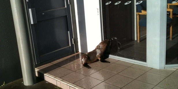 A seal ended up wandering around Penrose today after heavy rains. Photo / Neil Fieldsend