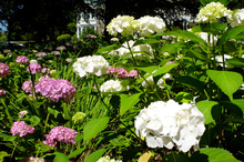 Proper pruning should see your hydrangeas looking like this in summer. Photo / Meg Liptrot