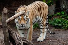 A tiger at the Copenhagen Zoo. Photo / AP