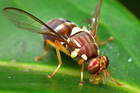 A lone Queensland fruit-fly brought panic to the quiet suburb of Avondale. Photo / Supplied