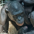 A female bonobo, named Unga, with a baby female born Tuesday morning at the Columbus Zoo. Photo / AP