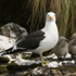 A black-backed gull with its chicks. Photo / Jim Eagles