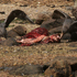 Giant petrels feast on a dead seal. Photo / Jim Eagles