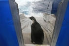 Emperor penguin Happy Feet about to be released from the NIWA ship Tangaroa. The Hawke's Bay company that made the tracking device used to keep tabs on the penguin has just been sold to a Canadian company.  Photo / NIWA