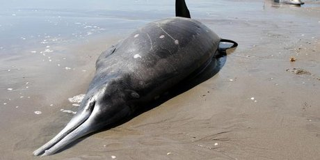 Four beaked whales were beached at Papamoa Beach. Photo / Richard Moore