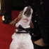 Uggie, the dog, from the film 'The Artist' arrives at the 2012 Golden Globe Awards. Photo / AP