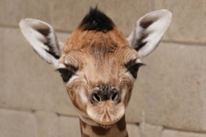 Auckland Zoo's newest addition. Photo / Auckland Zoo