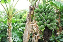 Banana plants are perfect for making an area look lush - and they produce fruit. Photo / Meg Liptrot