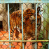 A tailless tiger named Ami looks out from a cage at a tiger farm in southern Binh Duong province, Vietnam.  Photo / AP