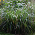 Carex Pendula (Drooping Sedge or Otahuna Sedge). Photo / Supplied