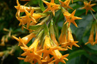Cestrum Aurantiacum, or Orange Cestrum, is one of 13 plants banned in New Zealand after being listed as invasive species. Photo / Supplied