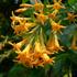 Cestrum Aurantiacum (Orange Cestrum). Photo / Supplied