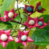 Clerodendrum trichotomum (clerodendrum). Photo / Supplied