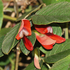 Kennedia Rubicunda (Dusky Coral Pea, Coral Pea or Running Postman)