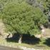 Maytenus boaria (Mayten). Photo / Supplied