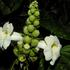 Pithecoctenium Crucigerum (Monkey's Comb, Monkey's Hairbrush). Photo / Supplied
