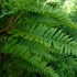 Polypodium Vulgare (Polypody). Photo / Supplied
