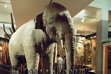 Rajah the Elephant at Auckland Museum.