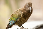 A 12-year-old may be charged by killing a rare kea during a school trip. Photo / File