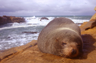 The New Zealand fur seals are protected species