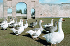 Geese wander the historical Kingston ruins on Norfolk Island. Photo / Supplied