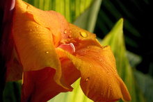 Canna lilies do well in wet conditions. Photo / Thinkstock