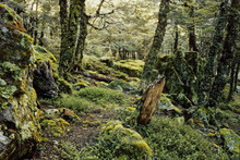 An image of Tawhai - silver beech (Nothofagus menzeisii) from 'New Zealand's Native Trees', winner of this year's NZ Post Book of the Year honour.  Photo / Rob Lucas, published by Craig Potton Publishing