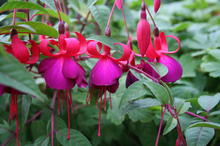 Kapiti Coast gardeners note fuchsias are budding early. Photo / Supplied