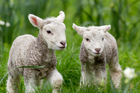 Sheep numbers are up 2.6 per cent this year. Photo / Greg Bowker