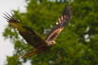 The return of the red kite from near extinction in Wales has been one of the great wildlife comeback stories of the past four decades. Photo / Thinkstock