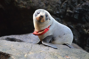 "The seal spotted on Otago Peninsula with the ""homemade looking G-string"" around its neck. Photo / David Johnson"