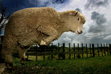 Sheep numbers jumped in the year ended June 2012, following a 4.4 per cent decline in the previous year. Photo / NZH
