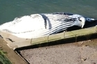 A dead humpback whale washed up in a Sydney ocean pool, surprising morning swimmers and causing a major headache for authorities who must now remove it.