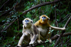 Golden snub-nosed monkeys cuddle to stay calm, New Zealand research is showing. Photo / Thinkstock
