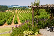 Californian vineyard. Photo / Thinkstock