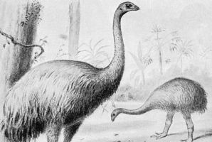 An artist's impression of Giant Moa.  Credit / Wikimedia Commons