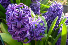 Hyacinths in bloom at the Wintergardens in Auckland Domain. Photo / Meg Liptrot