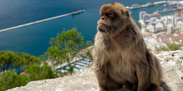 The survival of the Barbary macaques on Gibraltar is largely due to the presence of the British. Photo / Thinkstock