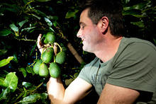 Avocado trees are good croppers and landscapers. Photo / Dean Purcell