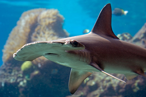 Hammerhead shark pups held in a shallow clear seawater pond at the Hawaii Institute of Marine Biology darkened after several weeks. Photo / Thinkstock