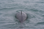 Minke whales do not cope well with long periods on land. Photo / Thinkstock