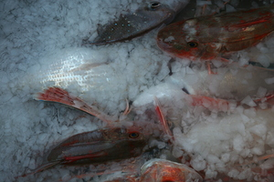 These gurnard and snapper will be in top condition when kept in a slurry.