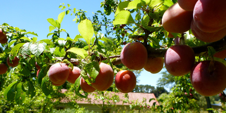 Fruit trees will have a higher yield when there are others nearby. Photo / Meg Liptrot
