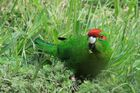 The kakariki population has increased. Photo / File / Jim Eagles